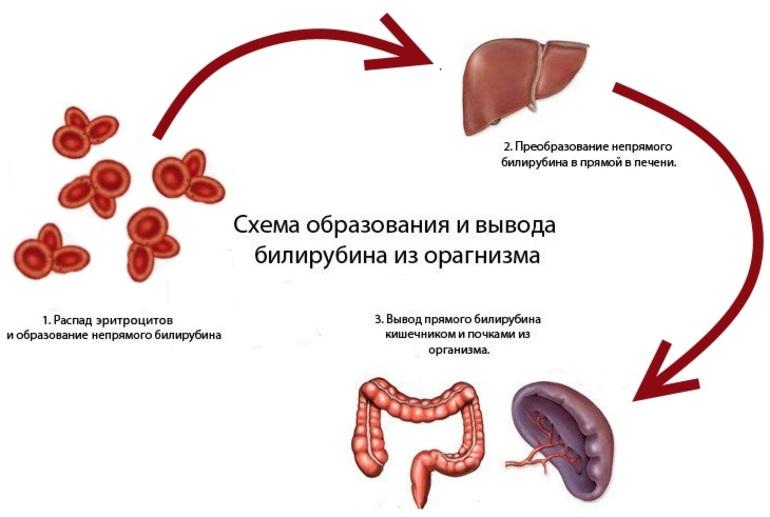 Схема образования и вывода билирубина из организма