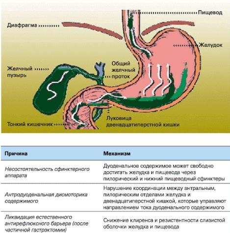 Желчь в кишечнике - анатомия